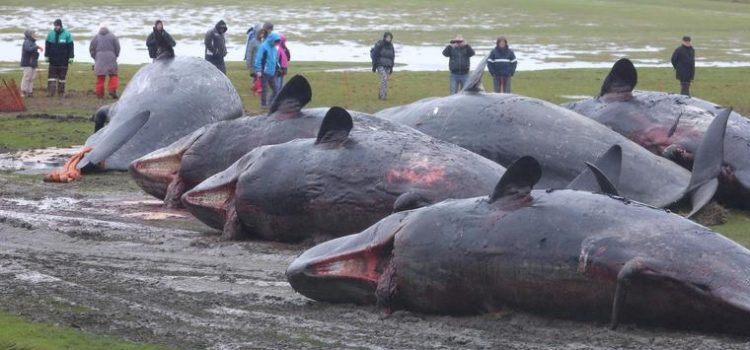 Sperm Whales Found Dead In Germany Stomachs Full Of Plastic And Car