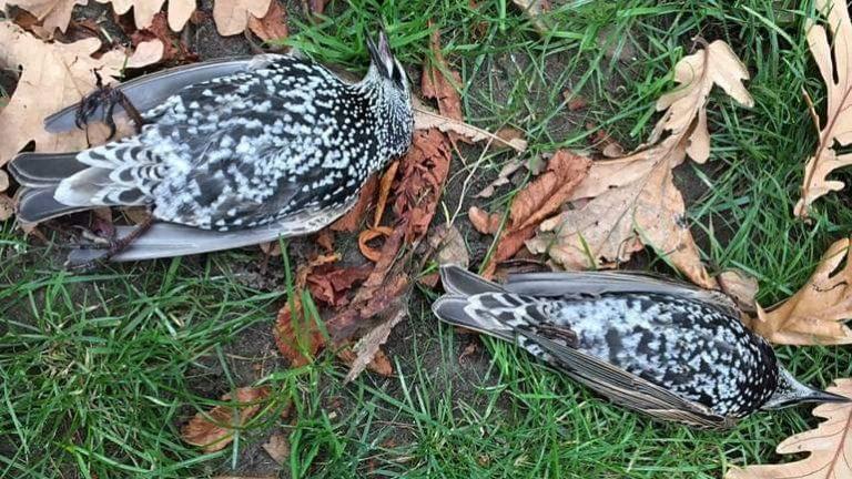 -død fugl-