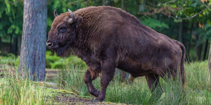 A Wild Bison Was Spotted in Germany for the First Time in 250 Years – So Authorities Shot It Dead
