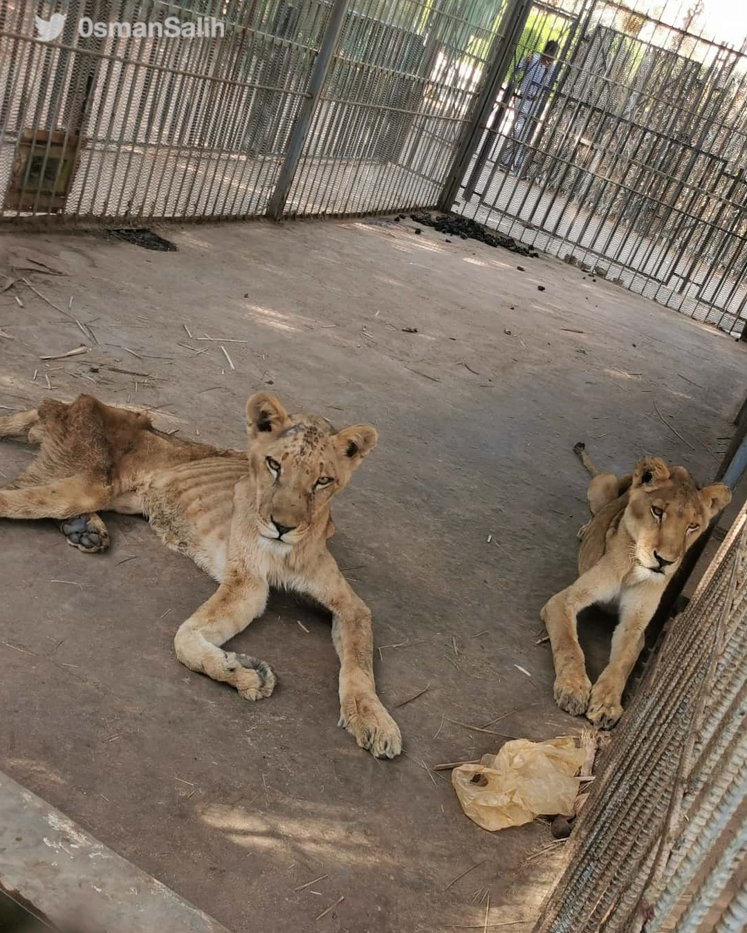 starving African lions